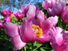 Preview image of the category Peonies