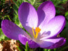 Preview image of the category Crocuses