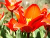 Preview image of the category Tulips