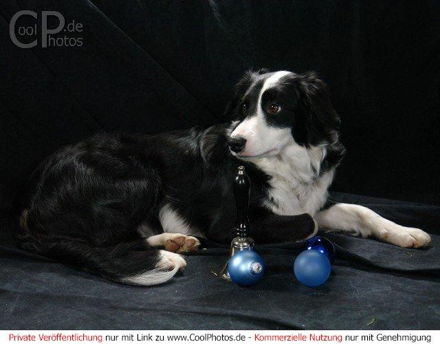 fotos foto von einem hund mit handglocke. Black Bedroom Furniture Sets. Home Design Ideas