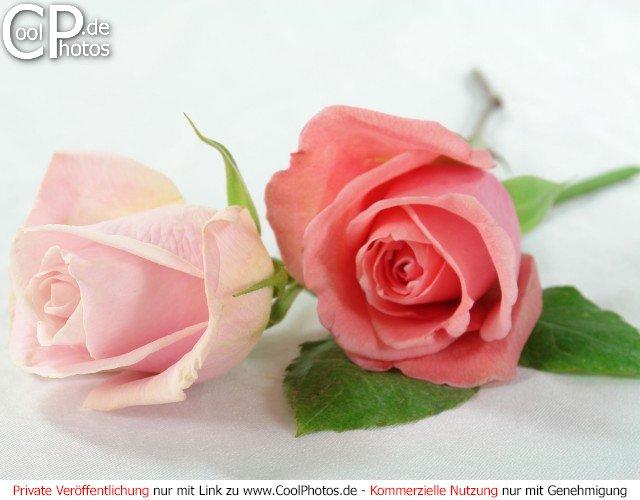 fotos rosen studioaufnahme von zwei rosen. Black Bedroom Furniture Sets. Home Design Ideas