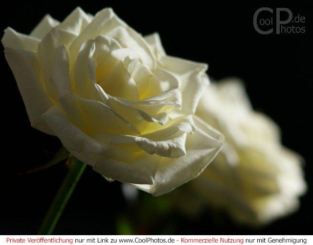 fotos rosen wei e rosen vor schwarzem hintergrund. Black Bedroom Furniture Sets. Home Design Ideas