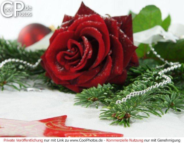 weihnachtsbild mit rose. Black Bedroom Furniture Sets. Home Design Ideas