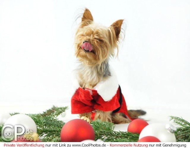 kleiner hund im weihnachtskost m leckt sich die nase. Black Bedroom Furniture Sets. Home Design Ideas