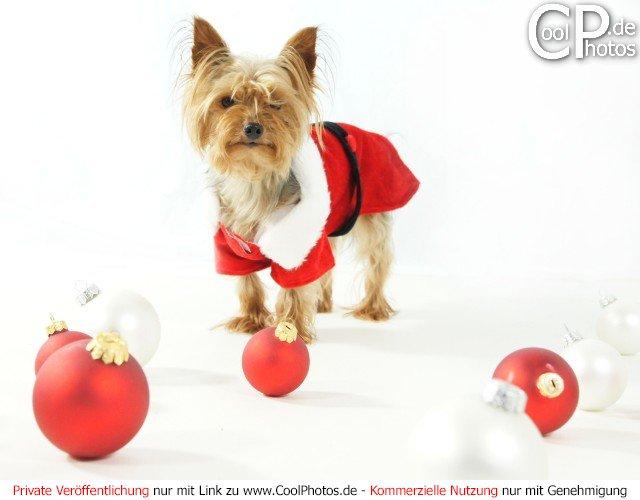 fotos kleiner hund im weihnachtskost m vor wei em hintergrund. Black Bedroom Furniture Sets. Home Design Ideas