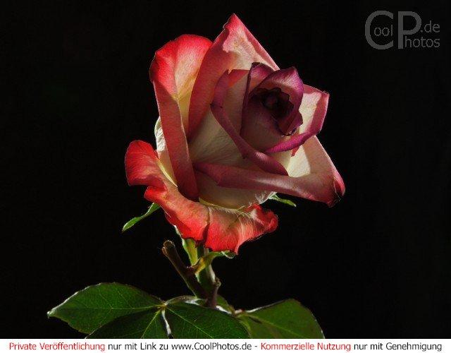 Aktuelle seite startseite fotos sommer rosen bild nr 87