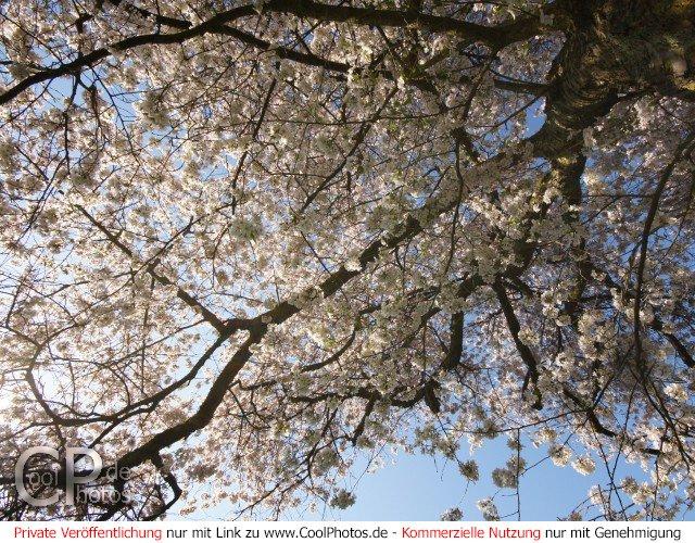 Bild nr. 54 (bäume) aus der kategorie kirschblüten