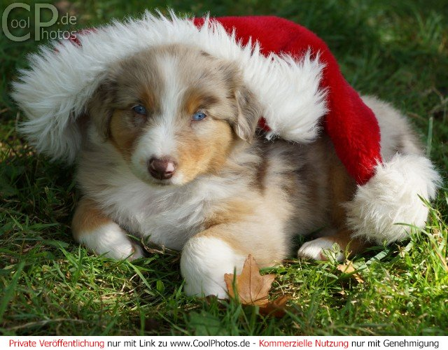 ... the australian shepherd mix puppies daily puppy health australian