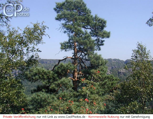 Bild nr 57 bäume aus der kategorie sächsische schweiz