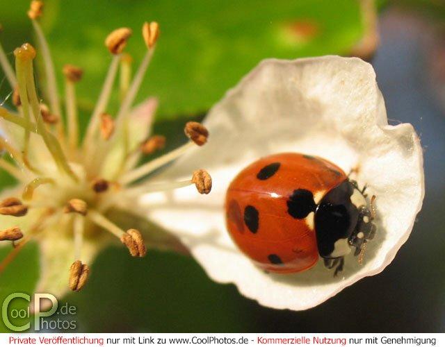 Marienkäfer auf einem Blütenblatt