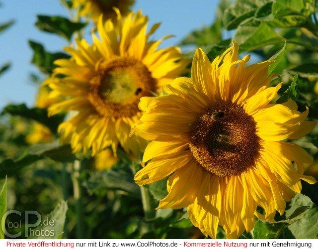 Coolphotos De Fotos Blumen Sonnenblumen