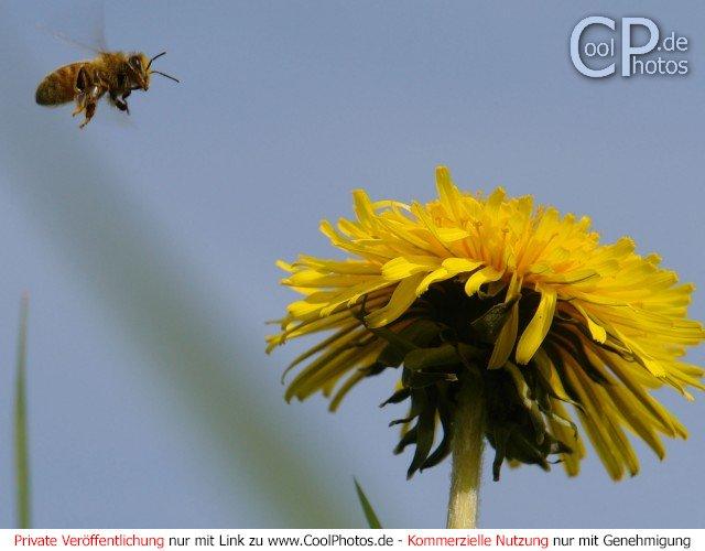 Biene im Anflug auf einen Löwenzahn