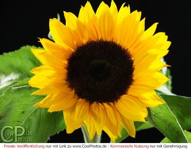 Bildfüllende Aufnahme einer Sonnenblume vor schwarzem Hintergrund