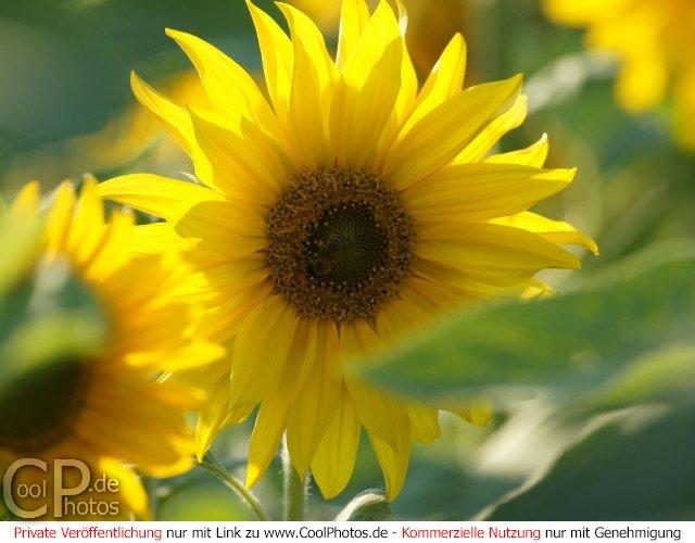 40 sonnenblumen bilder kostenlos  besten bilder von