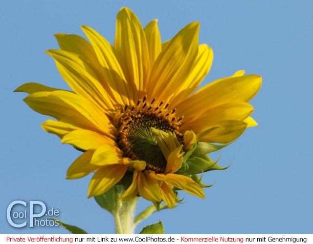 Coolphotos De Grußkarten Sommer Sonnenblumen