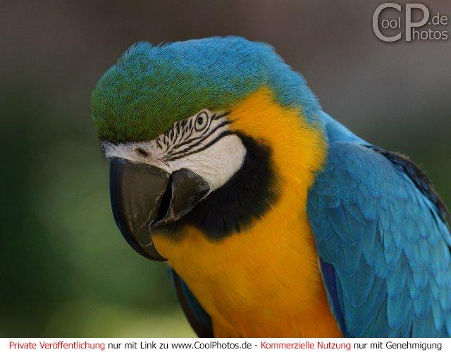 Ara (Papagei)