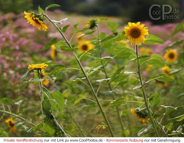 Coolphotos De Grußkarten Glückwunschkarten Sonnenblumen