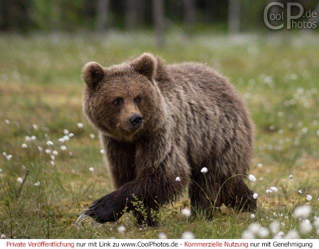 Junger Bär läuft durch einen Sumpf in dem vereinzelt Wollgras wächst.  Dieses Motiv findet sich seit dem 16. Februar 2017 in der Kategorie Fotos von Braunbären in Finnland.