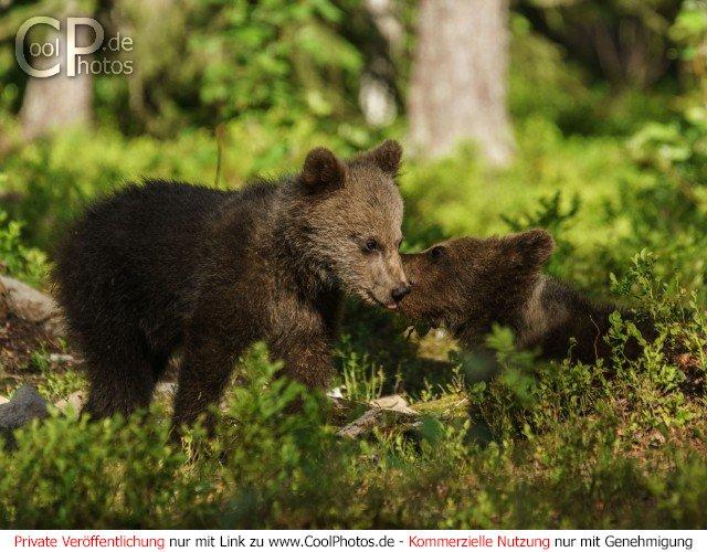 Dieses Motiv ist am 21.04.2017 neu in die Kategorie Fotos von Braunbären in Finnland aufgenommen worden.