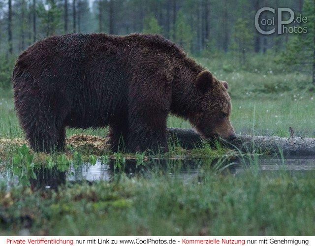 Dieses Motiv ist am 11.01.2017 neu in die Kategorie Fotos von Braunbären in Finnland aufgenommen worden.