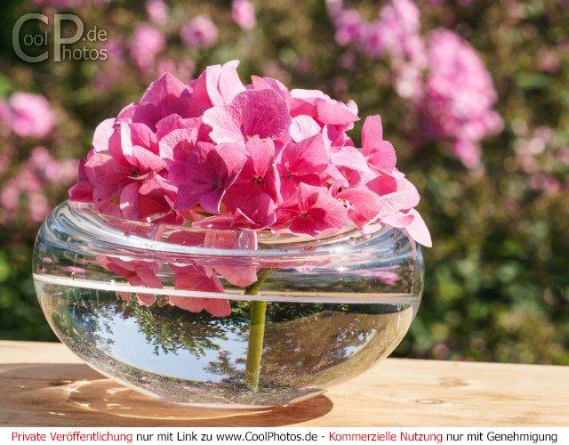 Hortensie in einer Wasserschale