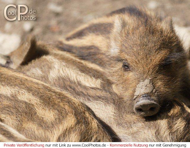 Dieses Motiv ist am 18.05.2017 neu in die Kategorie Wildschweine aufgenommen worden.