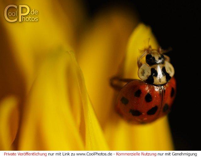 Marienkäfer auf einer Sonnenblume