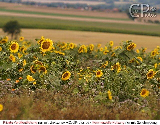 Dieses Motiv findet sich seit dem 11. Januar 2017 in der Kategorie Sonnenblumen.