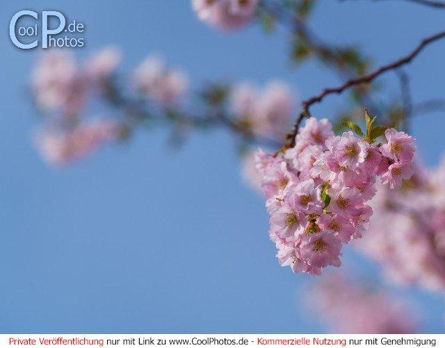 Japanische Kirsche  Dieses Motiv ist am 21.04.2017 neu in die Kategorie Kirschblüten aufgenommen worden.