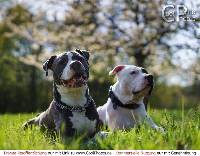 American Staffordshire Terrier und American Pit Bull Terrier vor einem blühenden Baum  Dieses Motiv ist am 21.04.2017 neu in die Kategorie Hunde aufgenommen worden.