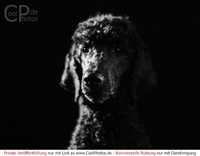 Schwarzer Pudel vor schwarzem Hintergrund  Dieses Motiv findet sich seit dem 10. Januar 2017 in der Kategorie Hunde.