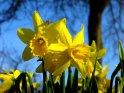 Leuchtend gelbe Osterglocken