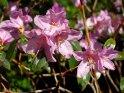 Azalee - zwar nicht heimisch, blüht aber auch im Frühling