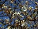 Blüten an einem Busch    Dieses Motiv gibt es auf CoolPhotos.de seit dem 22. April 2003. Sie finden es in der Kategorie Frühlingsblüten.