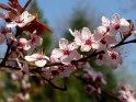 Weiß leuchtende Blüten (Schneeglanz)    Dieses Motiv gibt es auf CoolPhotos.de seit dem 22. April 2003. Sie finden es in der Kategorie Frühlingsblüten.