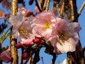 Dieses Motiv findet sich seit dem 24. April 2003 in der Kategorie Kirschblüten.