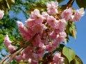 Kirschblüten vor einem blauen Himmel