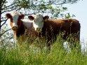 Zwei Kühe auf einem Deich