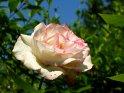 Weiße Rose mit rötlichen Rändern an den Blättern    Dieses Kartenmotiv ist seit dem 23. Juni 2003 in der Kategorie Rosen.