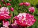 Dieses Motiv befindet sich seit dem 27. Juni 2003 in der Kategorie Rosen.