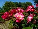Dieses Motiv finden Sie seit dem 27. Juni 2003 in der Kategorie Rosen.