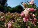 Weiß-Rosa Rosen    Dieses Motiv befindet sich seit dem 27. Juni 2003 in der Kategorie Rosen.