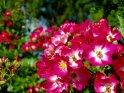 Rot-Weiße Rosen
