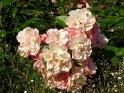 Weiße und Rosa Rosen