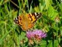 Distelfalter    Dieses Motiv finden Sie seit dem 13. Juli 2003 in der Kategorie Schmetterlinge.