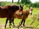 2 Pferde auf der Weide