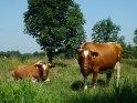 Bullen auf der Weide    Dieses Motiv findet sich seit dem 15. Juli 2003 in der Kategorie Rinder.