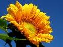 Gelb leuchtende Sonneblume vor leuchtend blauem Himmel