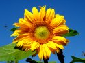 Sonnenblume mit Insekt im Anflug