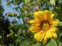 Sonnenblume mit Malven im Hintergrund